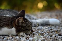 Sieste estivale (Mystycat =^..^=) Tags: minetthecat cat chat gato gatto kitty katze animal flin feline