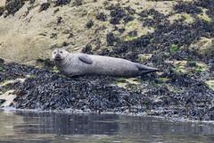 Un phoque qui ressemble de loin à une sirène