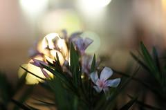 oleander magic (SS) Tags: street summer vacation italy holiday blur evening pentax bokeh magic depthoffield puglia vieste k5 gargano smcpentaxm50mmf17 ss