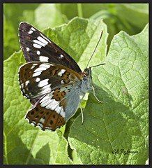 White Admiral (gill.mclennan1) Tags: canon macro nature insects butterflies white admiral underside