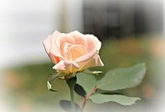 wishing for a return to civility ~ HSS! (karma (Karen)) Tags: baltimore maryland homefrontyard bushes roses blossoms dof bokeh vignette sliderssunday hss picmonkey frost