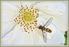 _JVA7679_DxO (mrjean.eu) Tags: park pink blue white france flower macro fleur rose yellow fleurs jaune garden rouge nikon jardin vert bleu botanic lorraine botanique parc metz 105mmf28 flowerws grteen