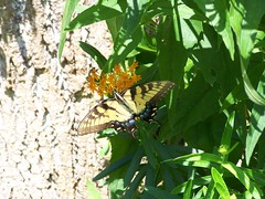 Lunch Time (Flowers Galore) Tags: flowers summer nature butterfly garden butterflyweed asclepiastuberosa beeattractant perennialbloomer