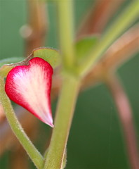 Petal (Kazooze) Tags: petal geranium nature stems garden macro sigma105mmmacrolens bokeh diamondclassphotographer flickrdiamond