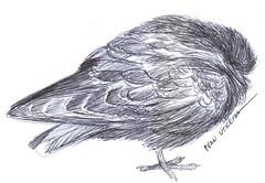 paloma a lapicero (ivanutrera) Tags: paloma draw dibujo drawing dibujoalapicero dibujoenboligrafo lapicero pen boligrafo animal ave bird pajaro pjaro ilustracion sketch sketching