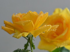 Rose gialle di luglio (moniq84) Tags: rose roses rosa gialla yellow tea gelosia spine foglie foglia leaf leafs piante plants gocce tear tears drop drops riflessi reflection green verde petalo petali