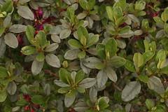 Rhododendron lepidotum Wall. ex G. Don (5) (siddarth.machado) Tags: rhododendron northsikkim himalayanflora 3000msl