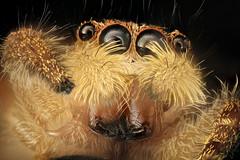 jumping spider, beltsville, md_2016-08-06-16.22 (Sam Droege) Tags: unidentified spider zerenestacker stackshot geologicalsurvey unitedstatesgeologicalsurvey departmentoftheinterior droege biml beeinventoryandmonitoringlaboratory bug bugs canon closeup macro insect patuxentwildliferesearchcenter pwrc usgs dofstacking stacking canonmpe65 spiders princegeorgescounty maryland jumpingspider salticidae