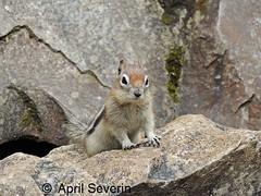 Golden-mantled ground squirrel  AprilSeverin (April Severin) Tags: goldenmantledgroundsquirrel