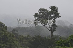 60071626 (wolfgangkaehler) Tags: 2016 southamerica southamerican ecuador ecuadorian latinamerica latinamerican rionapo rionapoecuador rionaporiver rainforest coca cocaecuador laselvalodge observationtower trees rainforestcanopy mist rising landscape scenery scenic