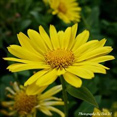 Yellow Beauty (Bob.W) Tags: ngc daisy sunrays5