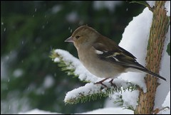 A female chaffinch in snow (Tragopodaros) Tags: christmas xmas england snow cold bird nature birds female garden nationalpark snowy wildlife peakdistrict feather christmastree hedge hen ornithology xmastree fringillacoelebs shiver chaffinch peakdistrictnationalpark plumage fringilla coelebs wildbird monyash snowyhedge gardenbird femalechaffinch