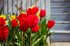 tulips on the rise! (PJC Photography) Tags: roses 3d helios t3i helios402 canont3i