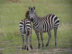 Zebra (TonyKRO) Tags: nature animals kenya stripes wildlife safari zebra masaimara
