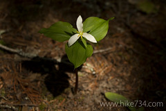 """Trillium • <a style=""""font-size:0.8em;"""" href=""""http://www.flickr.com/photos/63501323@N07/8733247813/"""" target=""""_blank"""">View on Flickr</a>"""