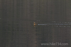 """Red-necked Grebe • <a style=""""font-size:0.8em;"""" href=""""http://www.flickr.com/photos/63501323@N07/8734354058/"""" target=""""_blank"""">View on Flickr</a>"""