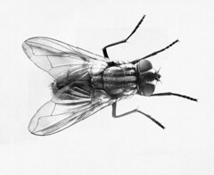 SF36714 (gonz portas) Tags: animal animals insect fly nobody biology sciences invertebrate housefly zoology entomology naturalsciences lifescience closeupview