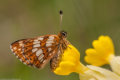 "Duke of Burgundy on Cowslip (Paul ""Razor"" Ritchie) Tags: nature wildlife butterflies sigma105mmf28macro lycaenidae dukeofburgundy hamearislucina nikond90 paulritchie"