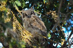 Week 5 ~ Great Horned Owls (champbass2) Tags: nature nikon nest owl greathornedowl owlet d7100 watchingthemgrow champbass2 readytofledge
