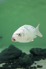 koi carp (martynb1) Tags: white fish colour swimming mouth eyes scales koi carp