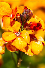 Warmest weekend wishes.. to you.. (Ollie_57) Tags: england plant flower macro nature canon spring flora dof bokeh may devon 7d bloom wallflower erysimum teignmouth 2013 tamronsp90mm ollie57