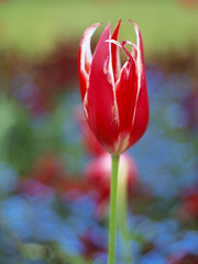 Flower (mirsmir) Tags: camera red blur flower green nature field grass weather garden 50mm one bokeh awesome small great olympus 420 depthoffield e tulip om f18 zuiko depth e420
