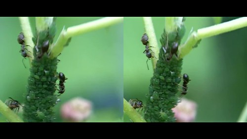 Ants and Green fly - 3d movie clip - crossview