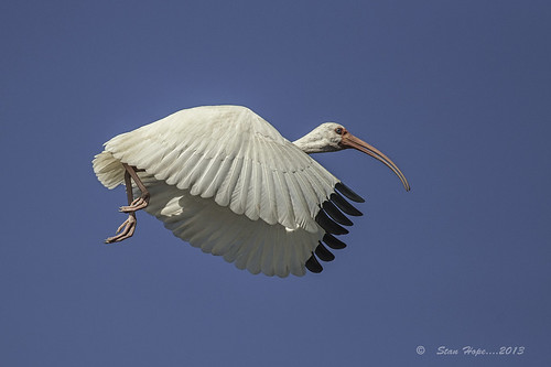 White Ibis In-Flight
