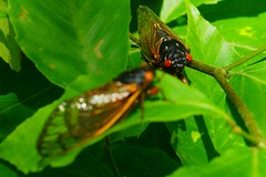 Two cicadas sunning (2013 Brood II, Magicicada septendecim, also called Pharaoh Cicada or the 17-year Locust) (Stephen Little) Tags: beercan sooc straightoutofcamera minolta70210mmf4 minolta70210mm minoltaaf70210mmf4 minoltaaf70210mm sonya77 jstephenlittlejr slta77 sonyslta77 sonyslta77v sonyalphaslta77v
