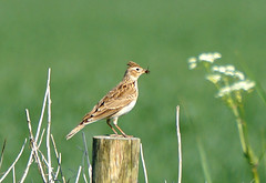 Skylark singing... (SteveJM2009) Tags: uk light food sun fence focus dof singing post bokeh may perch wiltshire salisburyplain skylark stevemaskell upavon alaudaarvensis wilts 2013 beakful naturethroughthelens