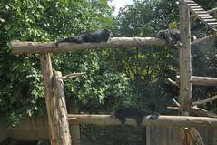 Binturongs in der Espace zoologique de Saint-Martin-la-Plaine (Ulli J.) Tags: france zoo frankreich loire bearcat binturong rhnealpes marderbr saintmartinlaplaine espacezoologiquedesaintmartinlaplaine