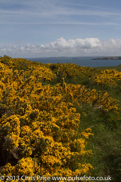 Gorse at Marloes Peninsular