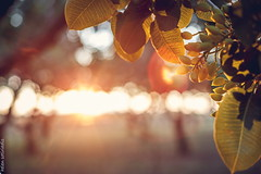 soak up the sun (helen sotiriadis) Tags: food nature canon published dof natural bokeh nuts orchard depthoffield greece pistachio flare agriculture canonef50mmf14usm canoneos6d ayearofpictures2013