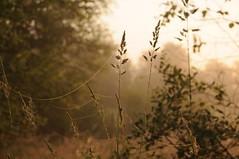 Morgen im Colsrak-Moor - ber den Nebeln steigt die Sonne empor; Alte Sorge, Stapelholm (21) (Chironius) Tags: morning grass sunrise germany deutschland dawn alba pantano erba amanecer peat swamp bottoms alemania grasses gras marsh dmmerung moor bog marais sonnenaufgang allemagne morgen germania ochtend schleswigholstein herbe sump matin  morgens zonsopgang mattina aube grser ogie sumpf pomie morgendmmerung morgengrauen  gramines niemcy dageraad  tourbire  poales  stapelholm  turbera  pomienie marcageuse commeliniden ssgrasartige szlezwigholsztyn colsrakmoor