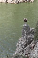 Buitre (Jeronimo Gomato Esperilla) Tags: espaa naturaleza rio fauna canon river eos spain vulture cceres buitre extremadura caceres 2013 jegoes canoneos1100d