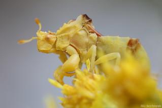 Ambush Bug (Phymata pacifica)
