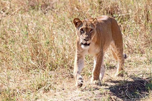 Lioness in Tarangire
