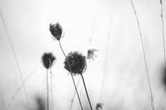 grass#12 (gingerybamboo) Tags: plants nature grass weeds