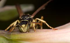 wasps of greenworld. to feed #2 (MecaEPT) Tags: macro nature animal closeup canon garden insect wasp handheld 60mm arthropod meca hymenoptera greenworld verges canonefs60mmf28usm canonina