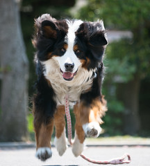 Jump! (Takashi(aes256)) Tags: dog animal jump bernesemountaindog    miruku nikond4   nikonaiafmicronikkor200mmf4difed