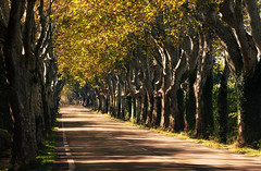 Plane Tree Alley (Philipp Klinger Photography) Tags: road street light shadow orange france tree green nature saint st yellow plane de landscape alley nikon frankreich warm branch afternoon shadows empty branches warmth tunnel paca tele provence fx remy landschaft emptiness cavaillon allee d800 planetree platane platanen stremydeprovence rmy saintremydeprovence saintrmydeprovence platanenallee d99 strmydeprovence landstrase nikond800 nikon70200f4 nikon70200mmf4 nikon70200mmf4vr