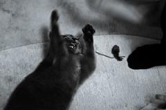 Angry cat (Sergey Knyazev and Anastasiya Kubay) Tags: cats game cat play angry