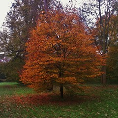 Solitary tree shedding leaves (35mmMan) Tags: autumn trees fall nature leaves forest woodland woods hatfieldpark