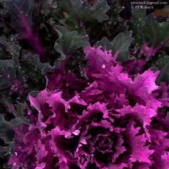 Kale (PJ Resnick) Tags: texture 5dmarkii canon catchycolors colors color contrast digital green pjresnick purple light waterdrops impressedbeauty eos5dmarkll leaves foodography canon5dmarkii ef usm abstract abstraction perryjresnick ©pjresnick kale 100mm square squareformat bsquare 100mmmacro highspeediso nature washington pnw pacificnorthwest minimal simple minimalism ef100mmf28lusmmacro resnick culinary ©pjresnick 500x500 pjresnickgmailcom pjresnickphotographygmailcom