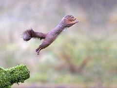 Red Squirrel Leaping (Robert-Bannister) Tags: uk nature squirrel wildlife mammals rodents redsquirrel sciurusvulgaris robertbannister