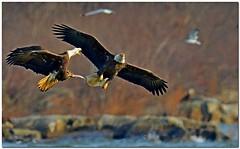 Bald Eagles (New NewEnglander) Tags: fish fight md eagle dam flight baldeagle bald maryland birdsinflight bif conowingo