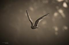 Eye to eye (Sandeep Somasekharan) Tags: india bird sandy birding kerala thiruvananthapuram vellayani sandeepsomasekharan