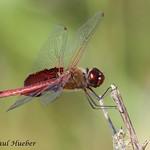 Red Saddlebags dragonfly (Tramea onusta)