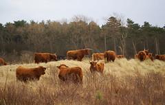 Noord Hollands Duinreservaat Bakkum (Ruud Severijns) Tags: bakkum schotsehooglanders noordhollandsduinreservaat