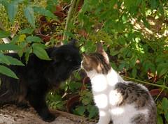 Kissing Zade (Mink) Tags: black male cat garden persian franz kuwait kuwaiti zade marzouq